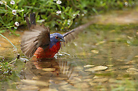 Painted Bunting enjoying a bath in summer.