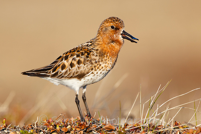 A confiding male Spoon-billed Sandpiper delivering its rhythmically repeated courtship vocalization. Males are fierce defenders of their territories. Chukotka, Russia. June.