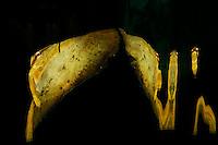juvenile batfish close to the surface - mirror - reflection Platax orbicularis