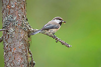 Grey-headed Chickadee (Poecile cinctus) with food on branch (decline of the species due to climate warming), back side visible, Lapland, Finland, Europe