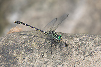 Eastern Least Clubtail (Stylogomphus albistylus) Dragonfly - Male, Ward Pound Ridge Reservation, Cross River, Westchester County, New York