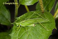 OR11-509z  Fork-tailed Bush Katydid Male camouflaged on leaf, Scudderia furcata