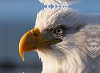 A bald eagle looks into the rising sun at Homer, Alaska.