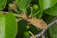 Braune Randwanze, Hasel-Randwanze, Haselrandwanze, Gonocerus acuteangulatus, Box Bug, Randwanzen, Coreidae, Box bugs