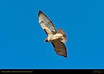 Red-tailed Hawk in Flight, Bosque del Apache Wildlife Refuge, New Mexico