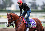 Calgary Cat, owned by Stephen Chesney & Cory S. Hoffman and trained by Kevin Attard, exercises in preparation for the Breeders' Cup Turf Sprint