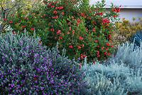 Dry climate mixed border with Leucophyllum frutescens 'Green Cloud' flowering Texas Ranger shrub with Tecoma 'Crimson Flare' flowering tree and Artemisia filifolia - Sand Sage, Sagebrush, silver folaige perennial; South Coast Research and Extension Center; University of California ANR