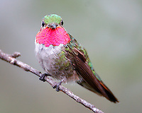 Adult male broad-tailed hummingbird on branch