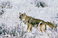 Coyote in frost and snow covered meadow.  Western U.S., fall.