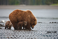 A photo of a Alaska coastal brown bear sow and her two cubs clamming. Grizzly Bear or brown bear alaska Alaska Brown bears also known as Costal Grizzlies or grizzly bears Grizzly Bear Photos, Alaska Brown Bear with cubs. Purchase grizzly bear fine art limited edition prints here Grizzly Bear Photo Bear Photos,