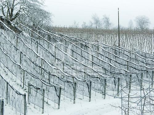 Switzerland. Snow covered vines.
