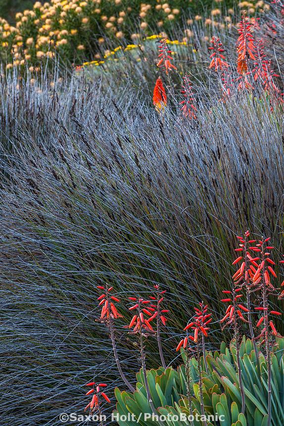 Chondropetalum tectorum (Small Cape Rush) at Leaning Pine Arboretum, California garden