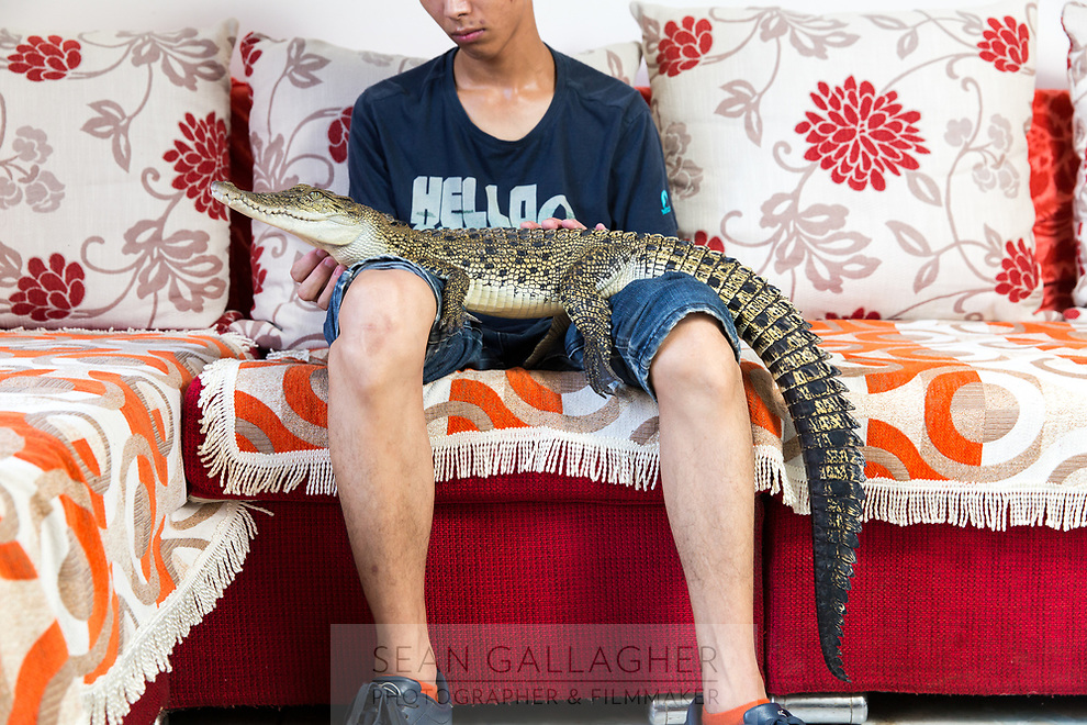 """Shao Jian Feng, 26, holds a Saltwater Crocodile (Crocodylus porosus) in his home on the outskirts of Beijing. This juvenile is only two and half years old, but when fully grown can reach up to six metres, making it the largest reptile in the world. It's just one of five crocodilians he owns, along with two other large snakes. """"There are twenty three crocodilian species in the world. We hope to collect all of them"""", he boasts. A Saltwater Crocodile can retail for up to 9000RMB (US$1500). In the wild, they can be found mainly in South East Asia and Northern Australia."""