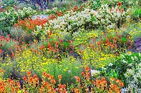 Wildflowers three years after wildfire. Mostly Ceonothus (snowbush) and Indian Paintbrush. Freemont National Forest. Oregon
