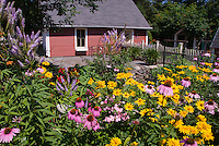Summer flower perennial garden with Echinacea purpurea purple coneflowers, Heliopsis, Phlox paniculata, Veronicastrum virginicum, barn shed, garage, blue sky on sunny day, picket fence, in lush bloom