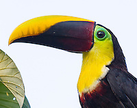 This species has had three different official names in the past decade.  Previously known as the Chestnut-mandibled and subsequently the Black-mandibled, it is now called the Yellow-throated toucan.