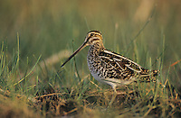 Common Snipe, Gallinago gallinago, adult, Willacy County, Rio Grande Valley, Texas, USA, March 2004
