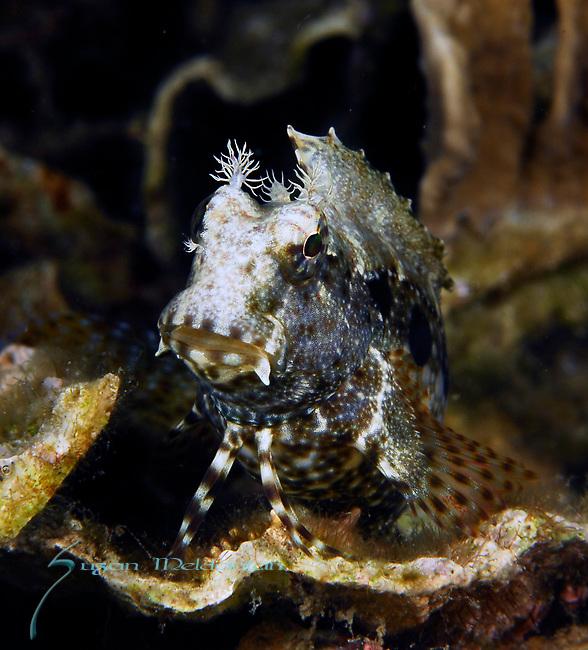 Ceram Blenny, Salarias ceramensis, Lembeh Straits, Sulawesi Sea, Indonesia, Amazing Underwater Photography