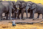 Art Wolfe photographs African bush elephants (Loxodonta africana) at waterhole, Okavango Delta, Botswana<br /> <br /> Fool-hardy photographer takes his life into his hands. I don't recommend that anyone do this!<br /> <br /> Film capture, Photo by Gavriel Jecan