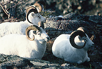 Dall sheep Rams rest on a rock ledge in Alaska.