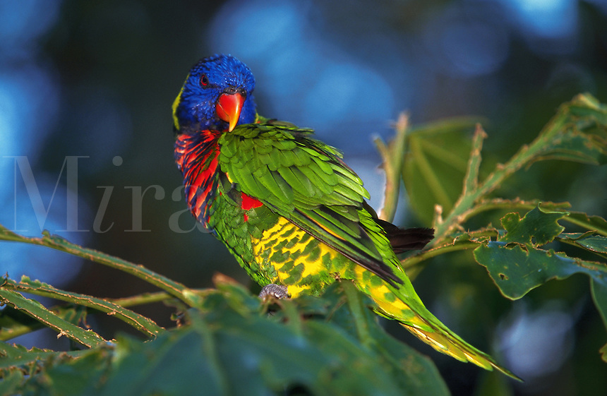 Green Naped Lorikeet, photographed in captivity, native to New Guinea