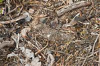 Gemeine Tapezierspinne, gut getarnter Fangschlauch, Gespinstschlauch auf dem Erdboden, Tarnung, Tapezier-Spinne, Atypus affinis, Purseweb spider, tube of silk that is hidden partially underground, camouflage, Tapezierspinnen, Atypidae, atypical tarantulas, purseweb spiders