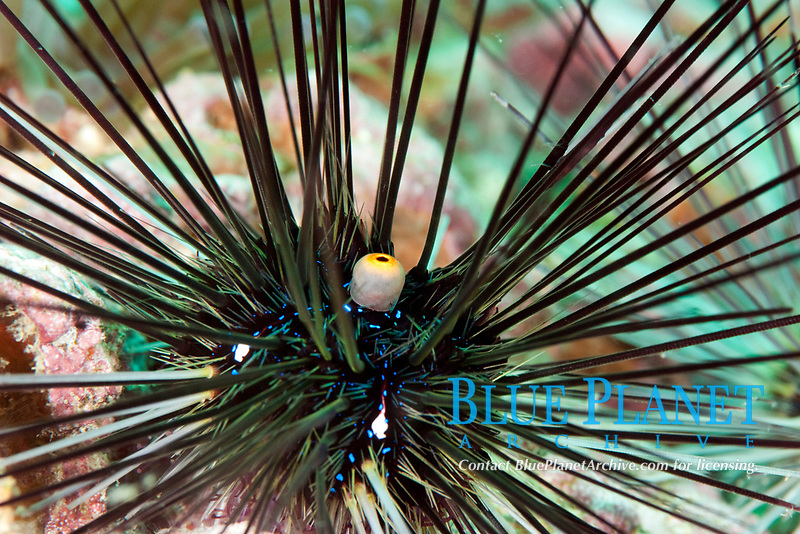 Sea urchin, Diadema setosum, Koh Samui, Thailand, Gulf of Thailand, South China Sea, Pacific Ocean
