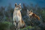 Mountain Lion (Puma concolor) mother and six month old male kitten, Torres del Paine National Park, Patagonia, Chile