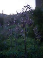 A purple flowering plant against the dark green of the walled garden