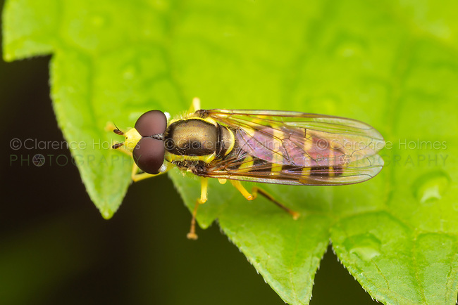 Syrphid Fly (Xanthogramma flavipes) - Male