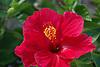 red Hibiskus flower<br /> <br /> flor de Hibiskus rojo<br /> <br /> rote Hibiskusblüte<br /> <br /> 3008 x 2000 px<br /> 150 dpi: 50,94 x 33,87 cm<br /> 300 dpi: 25,47 x 16,93 cm