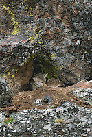 Wild Coyote (Canis latrans)--waiting out a rainstorm in protective nook.  Western U.S., June.