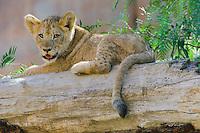 African Lion (Panthera leo) cub..(San Diego Wild Animal Park, San Diego, CA)