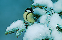Great Tit, Parus major, male on sprouse branch with snow, Oberaegeri, Switzerland, Dezember 2005