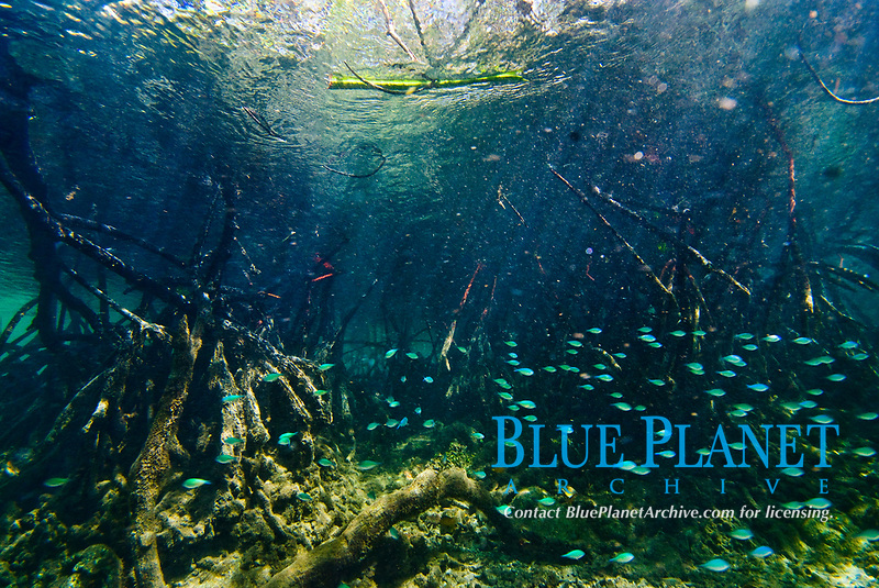 Mangrove roots at Blue Water Mangroves, Raja Ampat, West Papua, Indonesia, Pacific Ocean