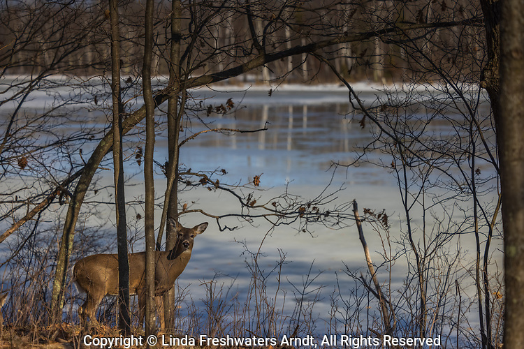 White-tailed doe in a woodland bordering a frozen lake.