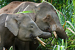 Female and young Bornean Pygmy Elephants (Elephas maximus borneensis) feeding on river-side vegetation. Kinabatangan River, Sabah, Borneo.