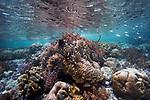 Banded sea snake, coral, coral reef, Indonesia, Laticauda colubrina, Raja Ampat