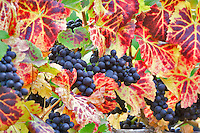 Cabernet sauvingnon grapes with fall color. Erath Vineyards, Oregon
