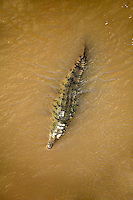 Crocodiles as viewed from the Crocodile Bridge on the Rio Tarcoles,  Costa Rica