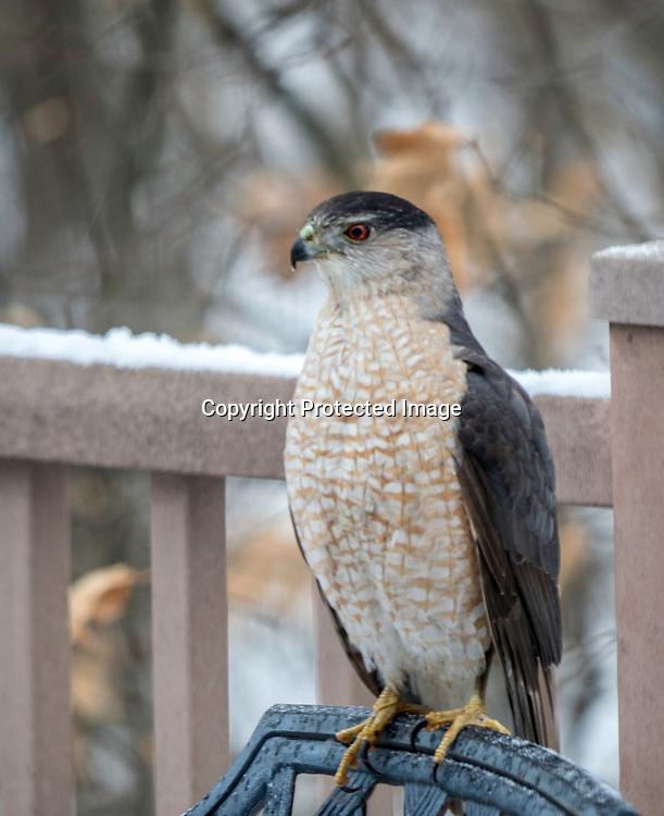 A hawk sits on a deck chair.