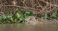 I finally had a chance to photograph swimming jaguars up close.