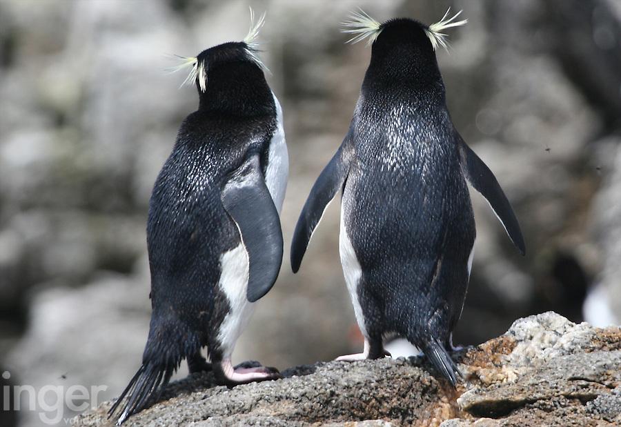 Snares Crested Penguins, Snares Islands, Antarctica