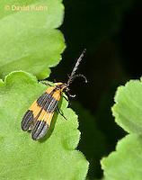 "0109-0903  Banded Net Winged Beetle, Calopteron reticulatum ""Virginia"" © David Kuhn/Dwight Kuhn Photography."