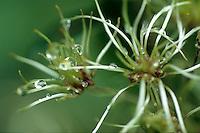 Bosrank (Clematis vitalba), zaad