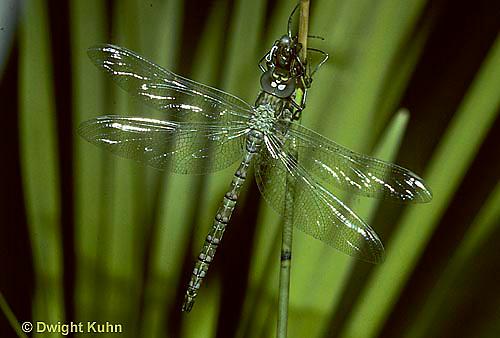 1O05-022z  Dragonfly - adult