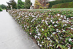 ANGEL-WING JASMINE, JASMINUM NITIDUM, HEDGE