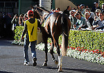 31 January 2009: All eyes are on Nicanor in the paddock before the colt's first race, a maiden race at Gulfstream Park in Hallandale, Florida.
