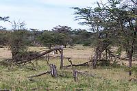 Tanzania. Serengeti. Trees Pulled down by Elephants.