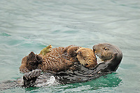 Sea Otter (Enhydra lutris)--mother carrying pup.  Young pups that are too young to dive for food with their mom are left on the surface where they frequently drift off with the tidal currents.  Mom then goes and retrieves them, carrying them back to where she is diving for food.  The sea star on the pup has been fed on by the mom, then she gave it to the pup to play with--the pup does not yet eat solid food.